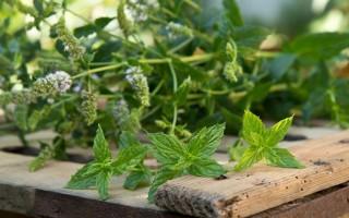 Полезные свойства мяты перечной и рецепты напитков