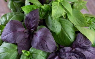 Полезные свойства базилика и питательная ценность