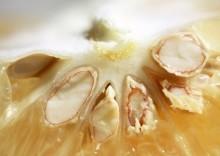 Лечебные свойства семян грейпфрута и противопоказания