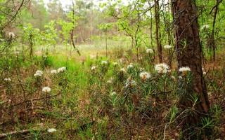 Лечебные свойства и противопоказания багульника болотного — дурманящего лекаря