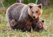 Лечебные свойства и противопоказания медвежьего жира