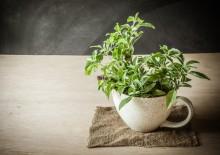 Чай тулси – полезные свойства напитка, возможный вред и побочные эффекты