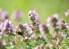 Полезные свойства изысканного тимьянового мёда