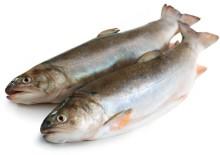 Польза и вред рыбы голец — настоящей звезды семейства Лососевые