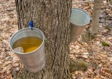 Польза и вред кленового сока: не только для канадцев
