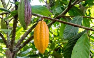 Польза и вред какао-бобов: прародителей шоколада