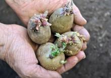 Лечебные свойства картофельных ростков, противопоказания и рецепты настоек