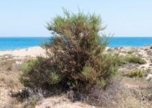 Солянка холмовая – 8 лечебных свойств, противопоказания и секреты применения