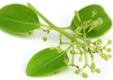 Полезные свойства листьев корицы