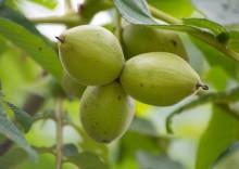 Лечебные свойства и противопоказания маньчжурского ореха
