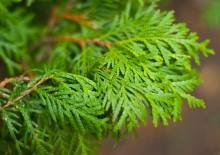 Полезные свойства листьев туи
