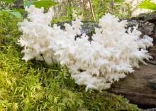 Польза коралловых грибов