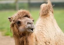 Польза верблюжьего молока