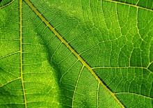 Польза и вред хлорофилла для человека: нужен не только растениям