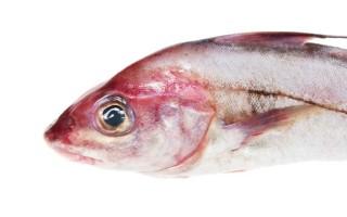 Рыба пикша: польза и вред морской обитательницы