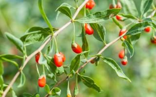 Ягоды годжи – полезные свойства и противопоказания дерезы обыкновенной
