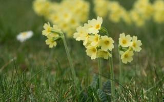 Полезные свойства первоцвета и важные противопоказания