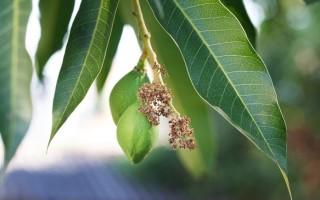 Полезные свойства манговых листьев