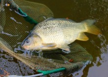 Речная рыба сазан: полезные свойства и состав