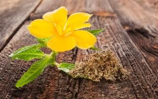 Листья дамианы – полезные свойства