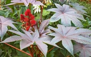Клещевина – польза и вред растения, подарившего миру касторовое масло