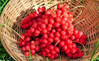 Лимонник китайский – полезные свойства и противопоказания плодов шизандры