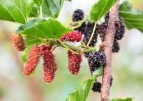 Полезные свойства ягод и листьев шелковицы