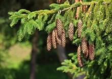 Лечебные свойства и противопоказания еловых шишек
