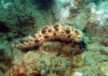 Кукумария – полезные свойства и противопоказания морского огурца