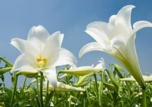 Полезные свойства белой лилии