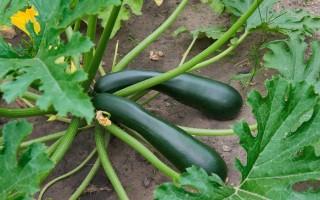 Польза и вред цуккини – симпатичного зеленого кабачка