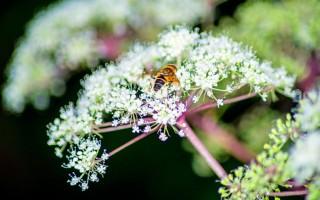 Дягилевый мед: полезные свойства и противопоказания