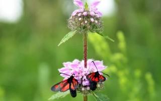 Трава железняк – лечебные свойства и противопоказания