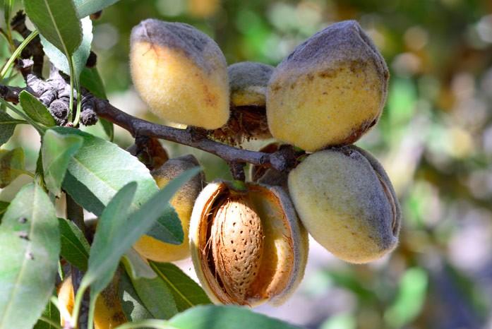 Спелые плоды миндаля обыкновенного