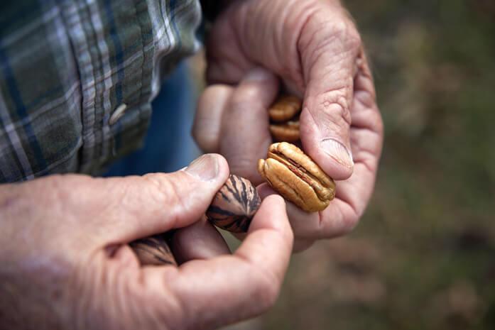 орехи пекан в руках пожилого человека