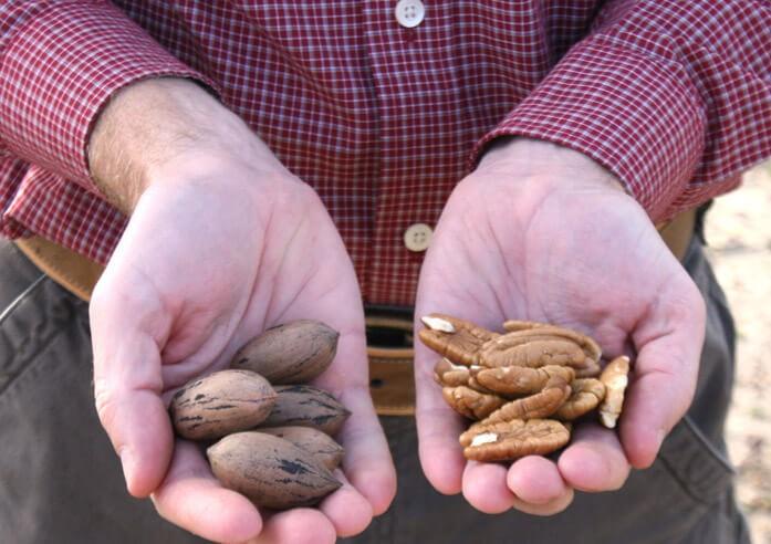 плоды и ядра пекана в мужских руках