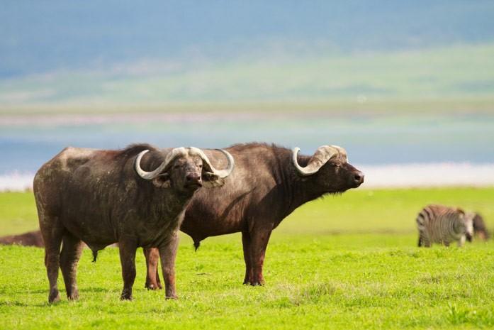 Масло буйвола польза и вред