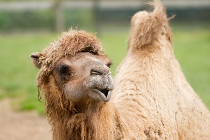 приветствие верблюда