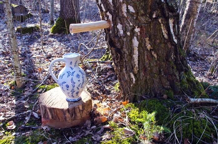 сбор березового сока в лесу