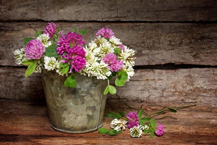 Цветки клевера полезные свойства и противопоказания