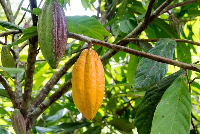 плоды дерева какао