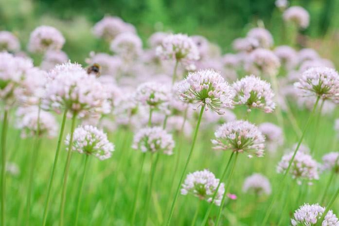 лук-слизун цветет