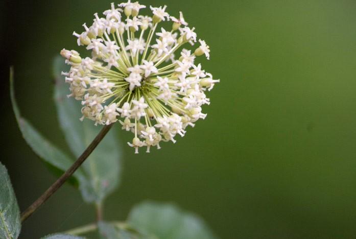 свободноягодник цветущий