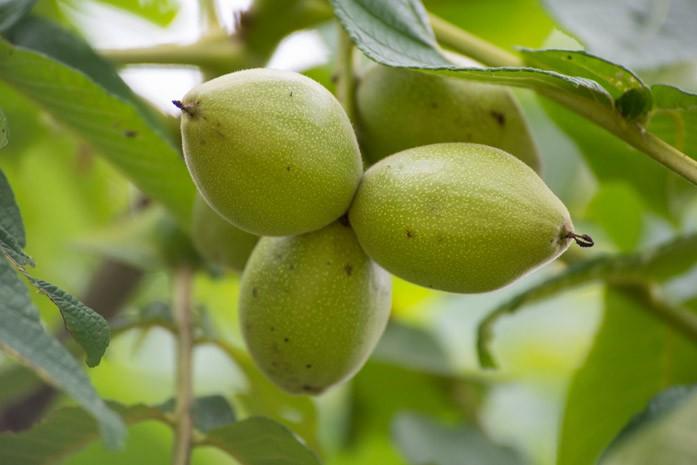Думбейский орешник с зелеными орешками
