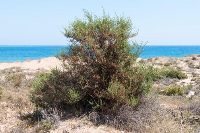 Трава солянка холмовая: лечебные свойства и противопоказания