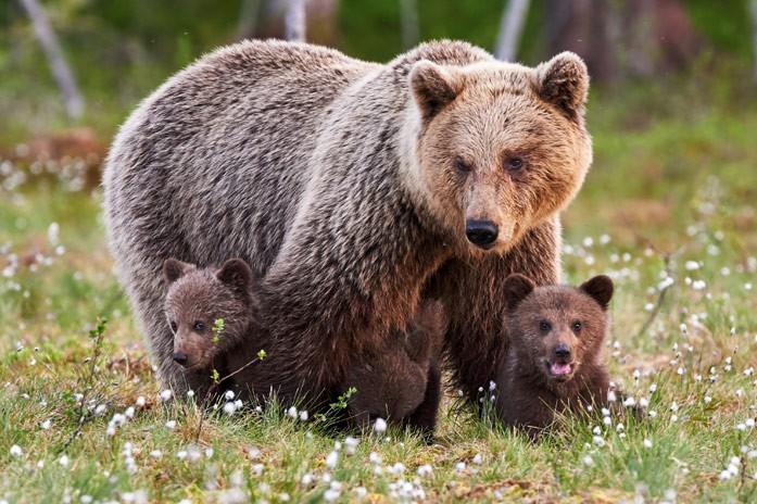 медвежата с мамой