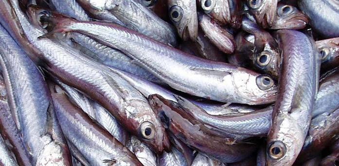 мусорная рыба путассу