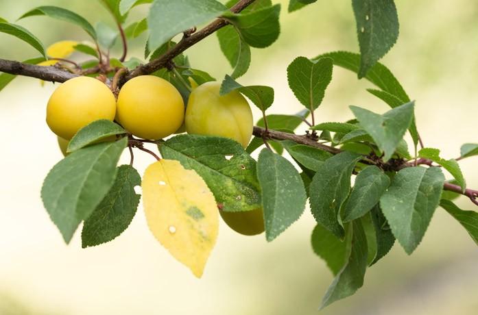 Плоды алычи зреют на ветке