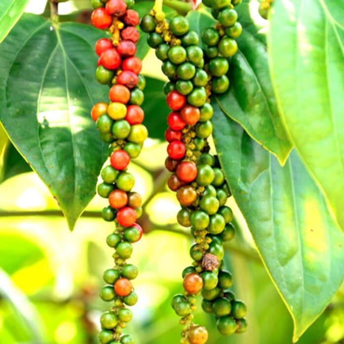 плоды черного перца