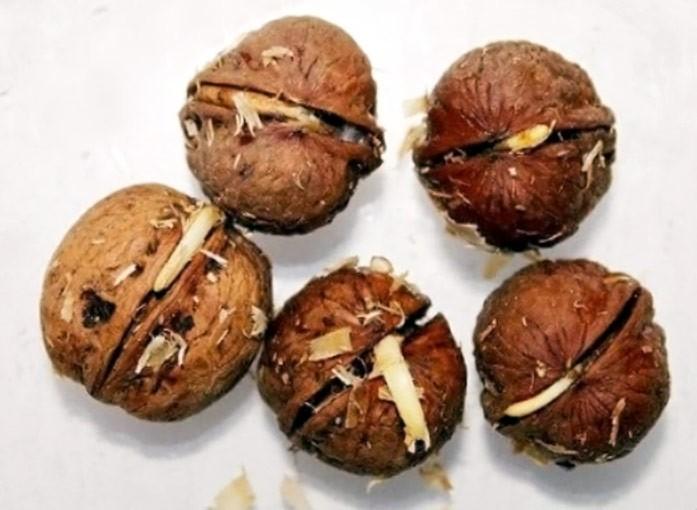 проростки грецких орехов